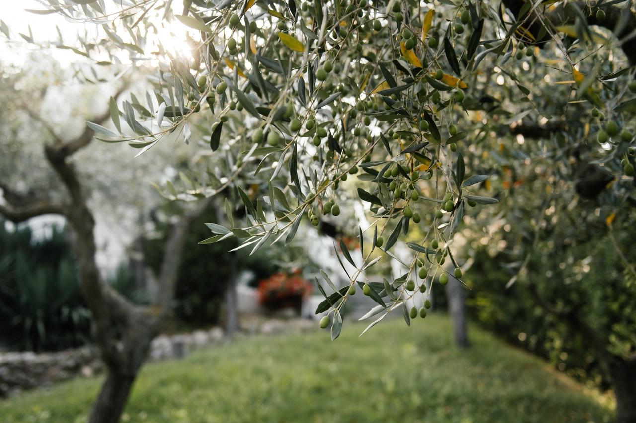 tailler-olivier